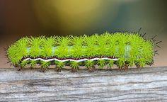 Die Raupe lebt in Kanada und den USA, und zwar sieht aus wie eine charmante Schätzchen mit grünem Pom-Pom-Stollen.