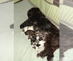 Shih Tzu Puppy For Sale In Bristol Ct Usa Puppies For Sale