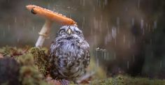 White Wolf : Adorable Owl Hiding From Rain Under A Mushroom Becomes Internet Star