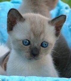 Tonkinese Cats are the best! Siamese Kittens, Baby Kittens, Kittens Cutest, Cats And Kittens, I Love Cats, Crazy Cats, Cute Cats, Pretty Cats, Beautiful Cats