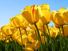 My mom was my inspiration for traveling. She loved visiting exotic places, and yet enjoyed the simple things in life. Yellow tulips were her favorite flower. Four Tet, Whatsapp Videos, Yellow Tulips, Mellow Yellow, Bright Yellow, Color Yellow, Blue Green, Aquaponics, Daisies