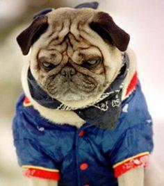 103 Pugs Wearing Little Jackets