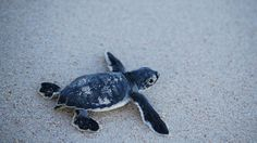 A sea turtle baby running to the ocean in Cancun