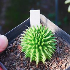 EUPHORBIA SUZANNAE MARLOTH SUZANNA'S SPURGE Grab your Rare Succulents and cactus online. Worldwide Shipping. Use Discount code: E10PER esucculent.com Succulents For Sale, Rare Succulents, Planting Succulents, Soil Ph, Free Online Shopping, 1 Live, Houseplants, Gardening Tips