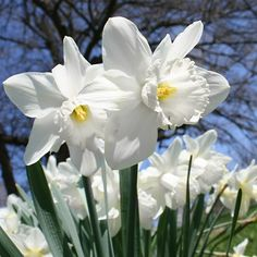 Narcissus 'Mount Hood' has overlapping white petals with wavy margins, and cups that are white to cream-colored. The long-lasting flowers are very large, reaching four to five inches across. Will naturalise. Daffodils Poem, Daffodils Planting, Planting Bulbs, Tulips, Daffodil Bouquet, Daffodil Wedding, Daffodil Flower, Daffodil Craft, Daffodil Bulbs
