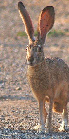Wild hare or Jack rabbit as we used to call them in the Midwest.   Rarely seen anymore which is sad.  They are a treat to see with their long ears.