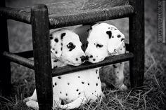 """Friends?"" Dalmatian puppies"