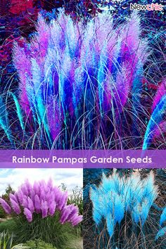 Rainbow Pampas Grass Bonsai Are Very Beautiful Garden Plants Seeds Cortaderia Bonsai is fashionable and cheap, come to NewChic to see more trendy Rainbow Pampas Grass Bonsai Are Very Beautiful Garden Plants Seeds Cortaderia Bonsai online. Garden Seeds, Planting Seeds, Planting Flowers, Bonsai Garden, Garden Plants, Outdoor Plants, Outdoor Gardens, Exotic Flowers, Beautiful Flowers
