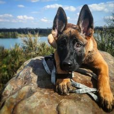 Big Dogs, I Love Dogs, Cute Dogs, Dogs And Puppies, Belgian Shepherd, German Shepherd Dogs, Belgian Malinois Puppies, Cute Dog Collars, Military Dogs