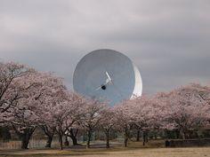 桜とパラボラを見に茨城へ