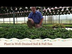 How to Grow Pelargonium | Plant Seeds, Bulbs & seedlings for Sale