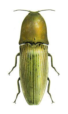Chalcolepidius porcatus