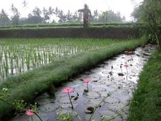 Morning in the rice padis. Click Here to learn more about why Bali is a great place for design inspiration http://www.ninadesigns.com/blog/2010/07/16/bali-provides-abundant-inspiration-for-creating-silver-charms/ #bali #travel #design #silver