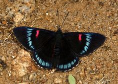 Bellona Metalmark