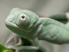 Chameleon baby by Chris