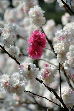 flor de pêssego