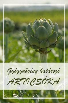 Az Articsóka, kerti népies neve: Olaszparaj. Hogyan gyűjtsük az Articsóka, kerti gyógynövényt? A hazai gyógynövényboltokban, piacokon beszerezhető. Doterra, Spices, Herbs, Vegetables, Healthy, Garden, Food, Artichokes, Spice