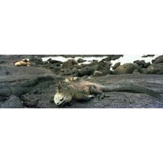 Marine Iguana Galapagos Islands Canvas Art - Panoramic Images (36 x 12)
