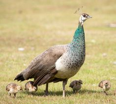Female Indian Peafowl, Peahen (Pavo cristatus) with chicks Funny Animal Pictures, Funny Animals, Cute Animals, Female Peacock, Peacock Pose, Wildlife Photography, Animal Photography, Peacock And Peahen, Bird Breeds