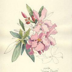 Spring begins And an Oleander Blossom for you   #oleander #floral #botanicalart#instaart #springstart #flowers #neriumoleander #adelfa #botanicals #artstagram #flowerslove #watercolor #botanicaldrawing