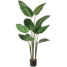 5 Ft. Bird of Paradise Plant