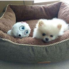 Pomeranian snuggled in bed