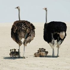 An Entire Ostrich Family Roaming the African Plains Fast Crazy Nature Deals. Wildlife Nature, Nature Animals, Animals And Pets, Baby Animals, Funny Animals, Cute Animals, Wild Animals, Nature Nature, Mother Nature