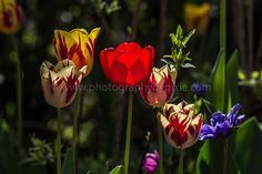 fractal tulips | Recent Photos The Commons Getty Collection Galleries World Map App ...
