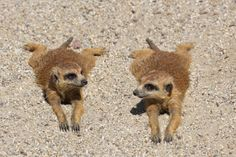 Meercats - so awesome.