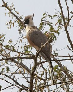 """The Bare-faced Go-away bird (Corythaixoides personatus) is a species of bird in the Musophagidae family. It is found in two areas of Africa: one in southern Ethiopia, and the other in Burundi, Democratic Republic of the Congo, Kenya, Malawi, Rwanda, Tanzania, Uganda, and Zambia. It is named after its distinctive """"go-away"""" call."""