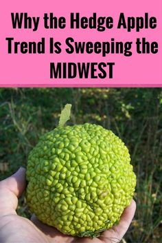 Why the hedge apple trend is sweeping the Midwest