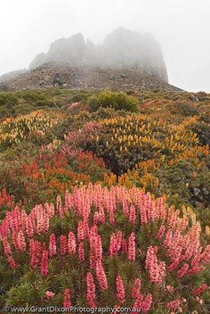 Summer Wildflower display of Richea Scoparia, Endemic Tasmanian Alpine Heath, Damascus Gate, Walls of Jerusalem National Park, Tasmania Tasmania Road Trip, Tasmania Travel, Landscape Photography, Nature Photography, Travel Photography, Australian Photography, Flora, Australia Travel, Western Australia