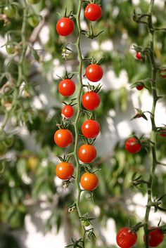 5 Mistakes to Avoid When Growing Tomatoes #tips_for__growing_tomatoes