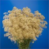 Fresh wholesale cut flowers supplied at the lowest prices. Perfect for Wholesale Flowers for Weddings. Gypsophila, Cut Flowers, Wedding Flowers, Herbs, Gold, Herb, Babies Breath, Spice