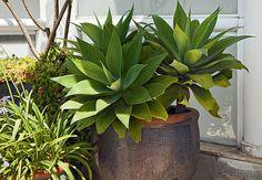 A agave pode ser cultivada à meia sombra, mas se desenvolve melhor a pleno sol. As regas devem ser regulares, porém sem exageros, e é recomendada a retirada dos brotos laterais em excesso. Projeto de Odilon Claro, da Anni Verdi