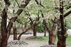 three of my favourite things. japan. cherry blossoms & rain.