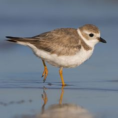 The piping plover likes open, sandy beaches and can be seen along the Atlantic and Gulf coasts. Coastalliving.com