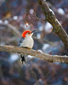 Red bellied woodpecker by Cbries