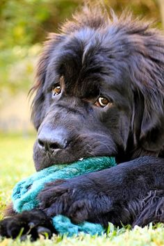 Newfoundland dog, newfie, chewing on a toy. Baby Dogs, Pet Dogs, Dog Cat, Doggies, Beautiful Dogs, Animals Beautiful, Cute Animals, Laika Dog, Cute Puppies
