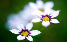 Fonds d'écran Fleurs Blanches
