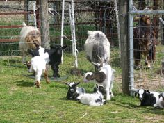 Mamas and babies in front of the goat nursery.