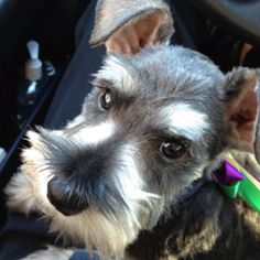 Sweet baby boy # miniature schnauzer                   How can you not love this face**