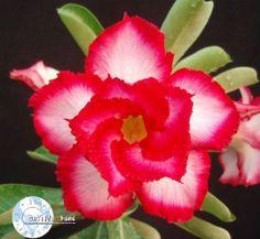 Adenium Seeds 'Touching Heart' (
