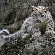 Snow leopard cub. no link, just image.