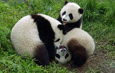 Das ist die gute Nachricht des Tages: Der Panda hat einen Schritt weg vom Aussterben gemacht. Das Wappentier des WWF wurde auf der Roten Liste der Weltnaturschutzunion (IUCN) von stark gefährdet auf gefährdet zurückgestuft.     Der Grund: harte Artenschutzarbeit. Der WWF arbeitet seit den 1980er Jahren in China, als erste NGO. Zusammen mit der chinesischen Regierung hat der WWF seitdem eine Vielzahl von Projekten angestoßen, vor allem um für den Panda ein ganzes Netzwerk an Schutzgebieten…