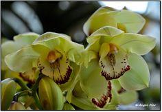 Cymbidium (Cuidados básicos de estas maravillosas orquídeas)