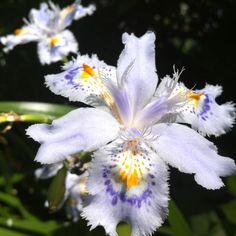 love this variety of iris! :)