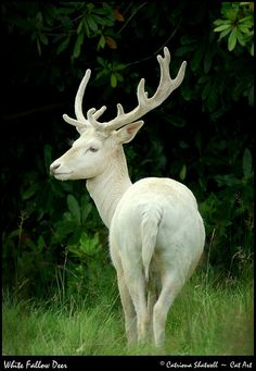 White Fallow Deer at Parkanaur in Co. Tyrone