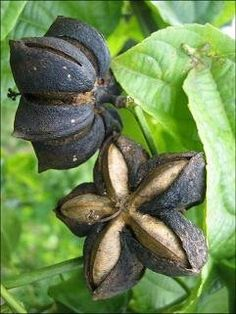 Sacha Inchi - a great source of protein, it's also a superfood which helps make such a delicious, nutrient-dense, superfood-packed protein shake. Fruit Seeds, Healthy Food Options, Growing Seeds, Oil Benefits, Seed Pods, Edible Flowers, Tropical Plants, Permaculture, Superfoods