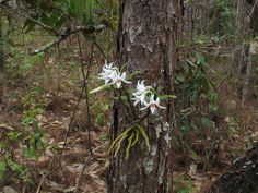 e52.jpg :: Another species that you will see today is Dendrobium draconis. Some of these plants can be found growing quite low down on the trees.